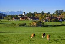 Cows Graze In A Meadow, Deinin...