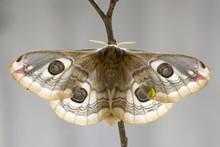 Close Up Of Small Emperor Moth