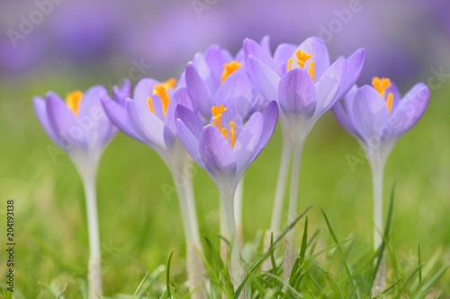 Purple Crocuses (Crocus sp.) in a meadow, Germany, Europe