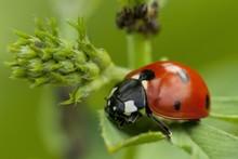Seven-spott Ladybird (Coccinel...