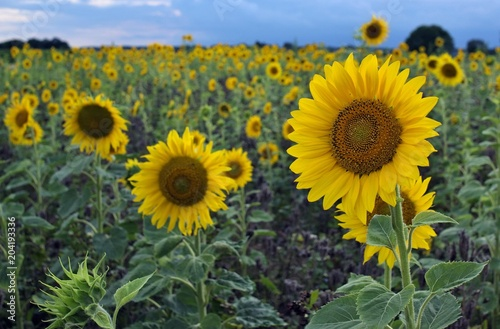 Sunflowers (Helianthus), sunflower field, North Rhine-Westphalia, Germany, Europe