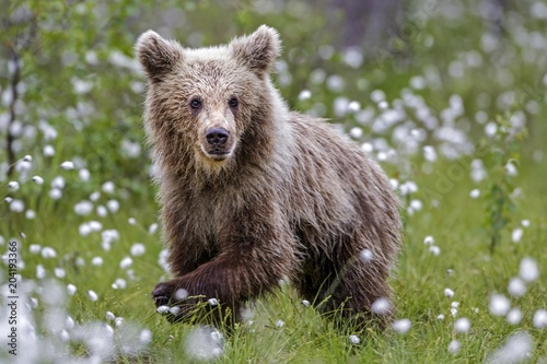 Brown bear (Ursus arctos) in woollen grass, Vartius, Karelia, Finland, Europe