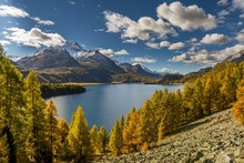 Autumnal Discoloured Larches (Larix) With Silser See In Front Of Snow-covered Engadine Mountain Top, Sils, Upper Engadine, Switzerland, Europe