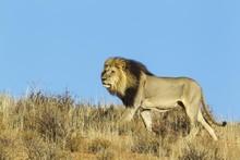 Black-maned Lion (Panthera Leo...