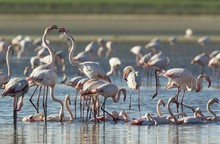 Greater Flamingos (Phoenicopte...