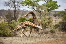 Southern Giraffes (Giraffa Gir...
