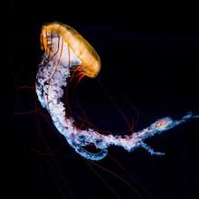 Compass Jellyfish (Chrysaora H...