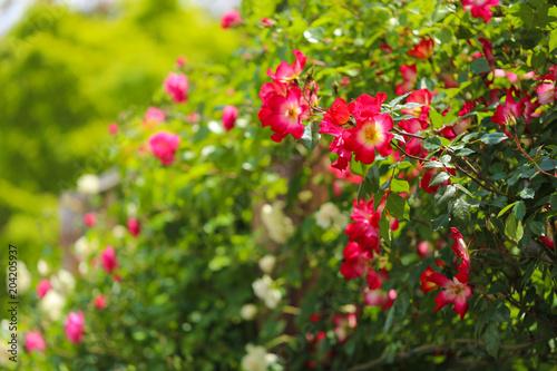 Cadres-photo bureau Jardin 薔薇