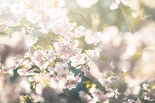 Spring Flowers. Spring Background With Cherry Blossom, Sakura Bloom In The Blue Sky Background