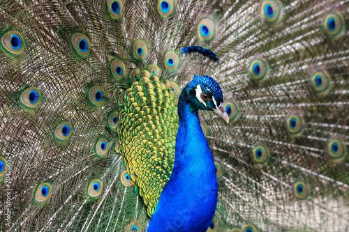 Foto op Plexiglas Pauw pavone maschio (Pavo cristatus)