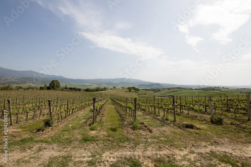 Tuinposter Wijngaard Vineyard in italian countryside. Quality wine in Italy, cultivation and organization of plants. vineyard with regular rows in the Italian countryside. Italian noble wine.