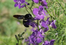 The Carpenter-bee Sits On A Pu...