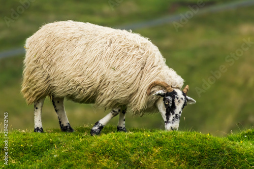 Fotobehang Schapen Scottish Sheep