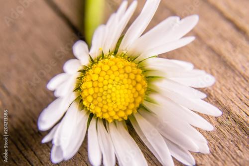 Foto op Canvas Madeliefjes Daisy Flower