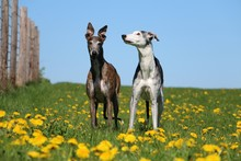 Two Beautiful Galgos Are Stand...