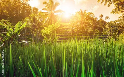 Fotobehang Honing Reisterrasse mit Sonnenaufgang
