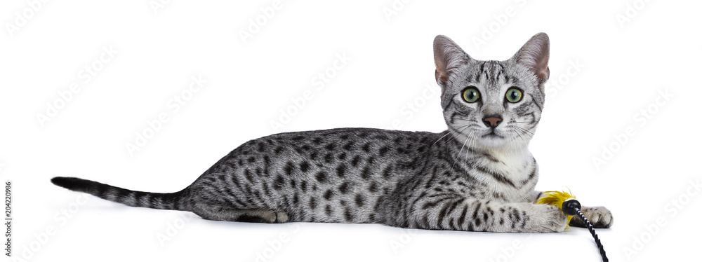 Valokuva  Cute silver spotted Egyptian Mau cat kitten Laying down side ways with yellow fe