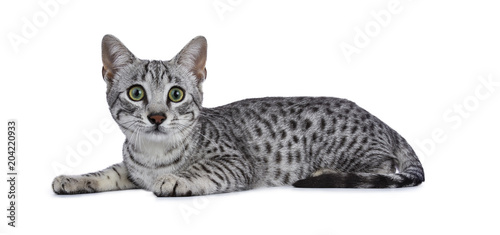 Valokuva  Cute silver spotted Egyptian Mau cat kitten laying down isolated on white backgr