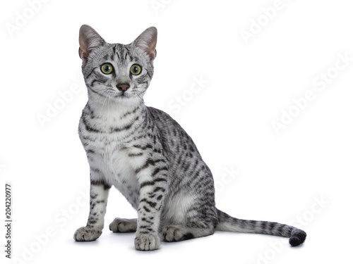 Cute silver spotted Egyptian Mau cat kitten sitting straight up isolated on whit Tapéta, Fotótapéta