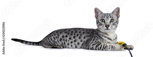 Fényképezés  Cute silver spotted Egyptian Mau cat kitten Laying down side ways with yellow fe