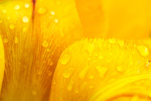 Petals Of A Yellow Tulip With ...