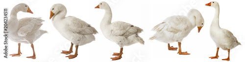 Fotografie, Tablou white goose (Anser anser domesticus) isolated on a white background