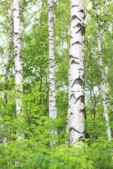 Fototapeta birch trees with white bark in summer in birch grove