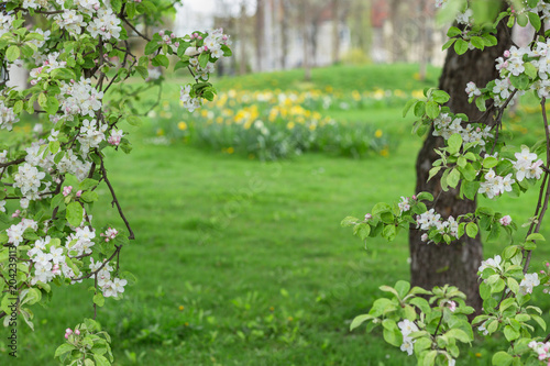 In de dag Bomen Blooming apple tree on green blurred background.