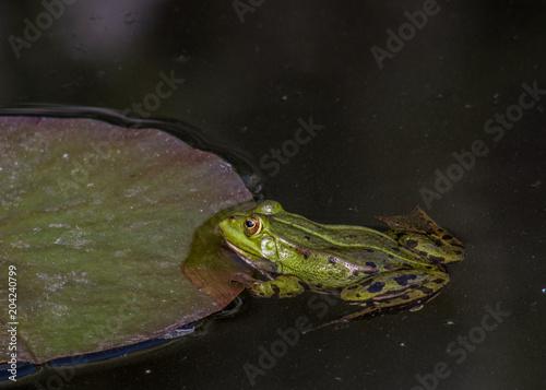 Fotografie, Obraz  zielona żaba na liściu w wodzie