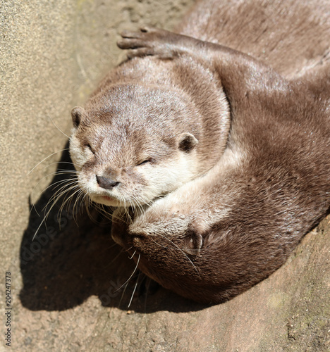 Fotografía  Close up of Oriental Short Clawed Otters cuddling and sleeping