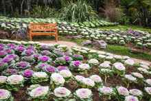 Wood Chair In The Cabbage Ornamental Garden Of Angkhang Thailand.