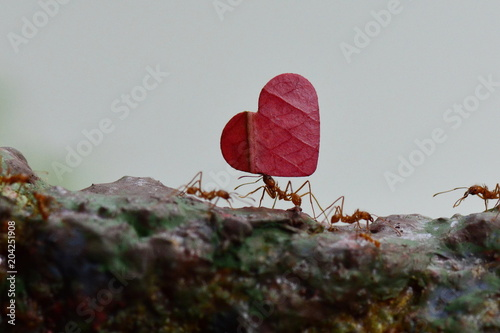 Leaf cutter ants carry leaves along their route to their final destination.
