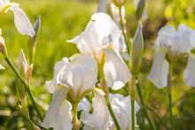Iris Flowers Close-up In Sun L...