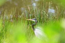 Close Up Shot Of Blue Heron Bird
