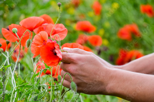 Tearing The Poppies For A Bouquet Poppy Flowers In The Clearing
