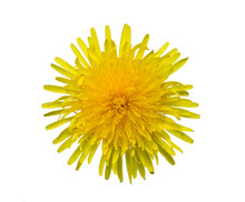 Yellow Sow-thistle Flower Cut Out From The Background