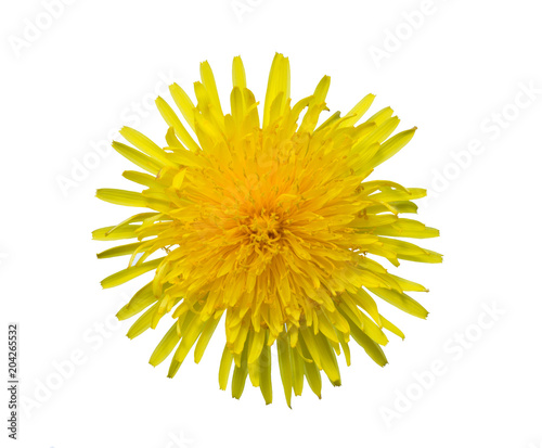 Obraz na plátně Yellow sow-thistle flower cut out from the background