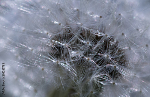 Fototapety, obrazy: close up of dandelion seed head