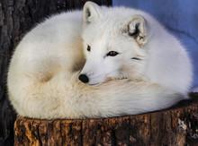 Arctic Fox (Vulpes Lagopus) Resting On A Trunk