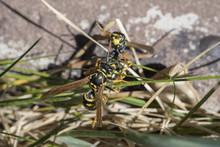 Wasps Fighting In The Garden