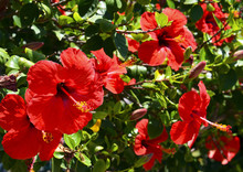 Red Hibiscus Flowers (China Rose,Chinese Hibiscus,Hawaiian Hibiscus) In Tropical Garden Of Tenerife,Canary Islands,Spain.Floral Background.Selective Focus.
