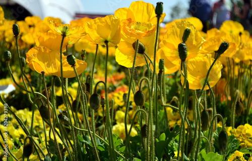 Plakat Łąka z żółtym makiem