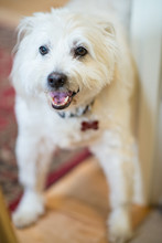Smiling White Schnoodle Dog