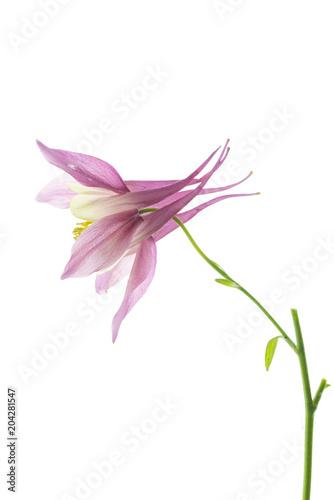 Fotografia fiore singolo di aquilegia