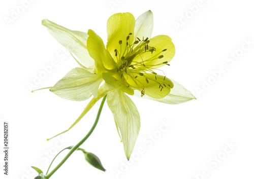 Photographie fiore giallo di aquilegia