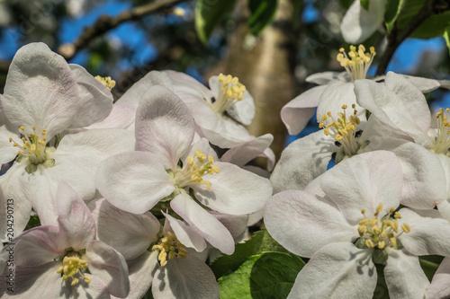 Zdjęcie XXL apple kwiaty