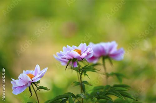 Tuinposter Bloemen Blooming peony flowers in the park