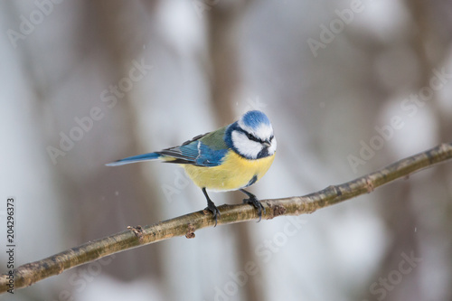 In de dag Vogel Blue tit bird sitting on small branch