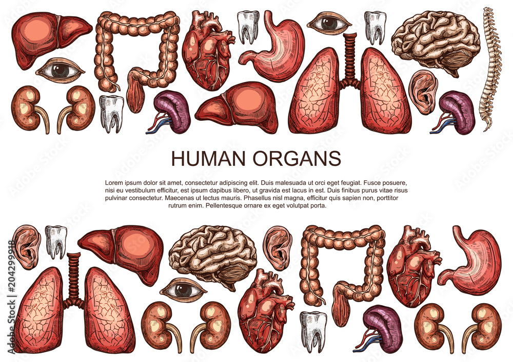 Human Organs Vector Sketch Body Anatomy Poster Foto Poster