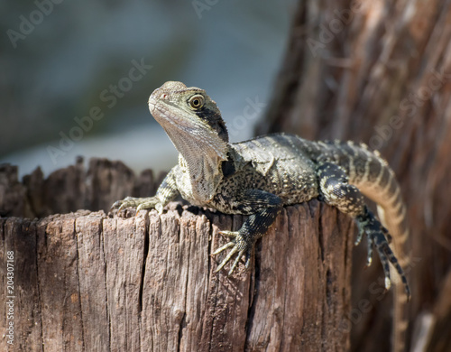 Lizard resting on a log Poster